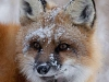 """Frosty Fox\"" by Gary Fagan"