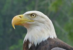 Bald Eagle. Photo by Bruce Hallman/USFWS.